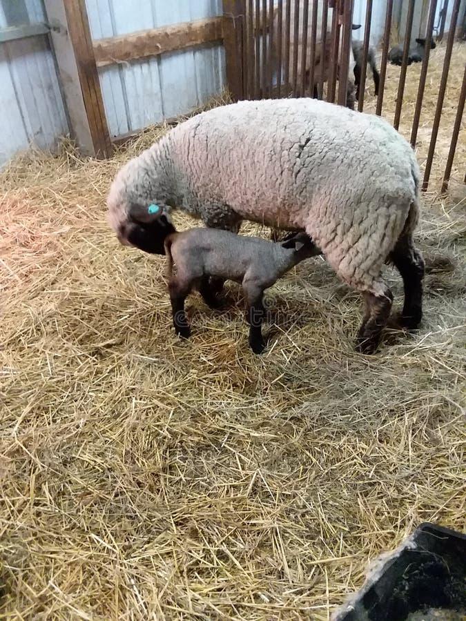 Cordeiro do bebê com mamã fotografia de stock royalty free