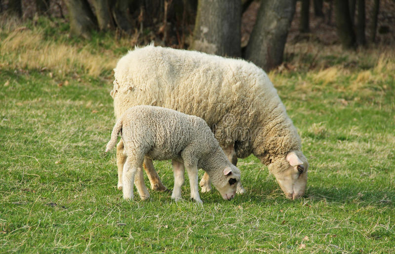 Cordeiro e carneiros fotografia de stock