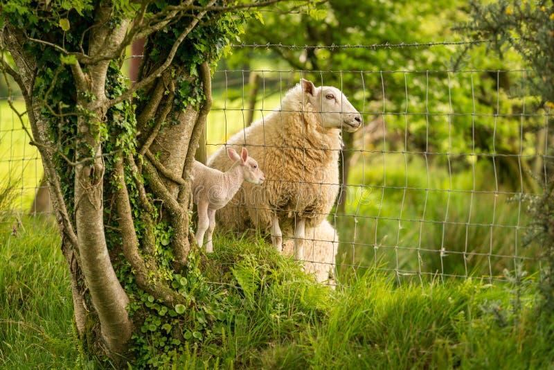 Cordeiro e carneiros divididos por uma cerca imagens de stock