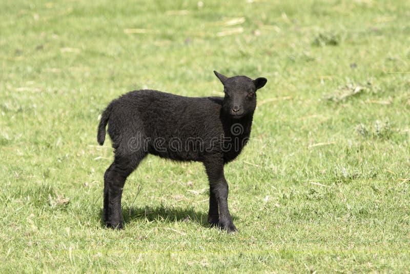 Cordeiro novo de Shetland ainda com cauda fotografia de stock royalty free