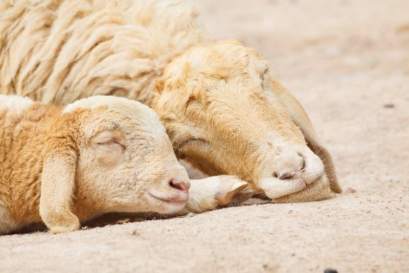 Cordeiro pequeno com sono dos carneiros da mãe fotografia de stock royalty free