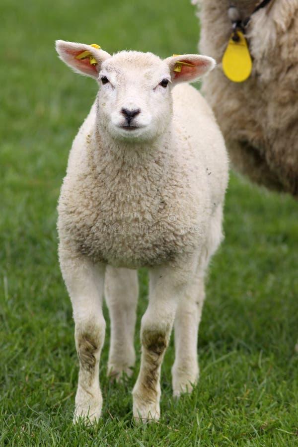 Download Cordeiro Pequeno Que Olha O Foto de Stock - Imagem de gado, mola: 10050486