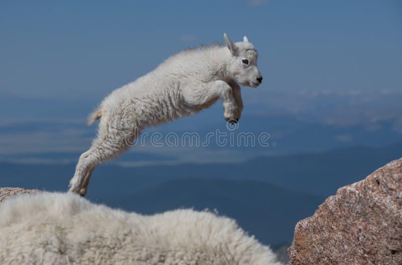 Cordeiro-pulo da cabra de montanha do bebê da fé fotos de stock