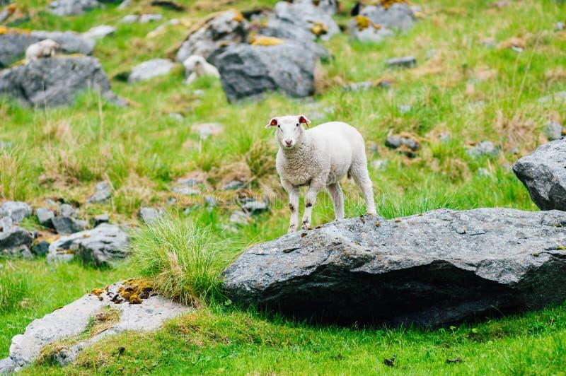 Cordeiro que fica na rocha grande nas montanhas Noruega, Europa foto de stock
