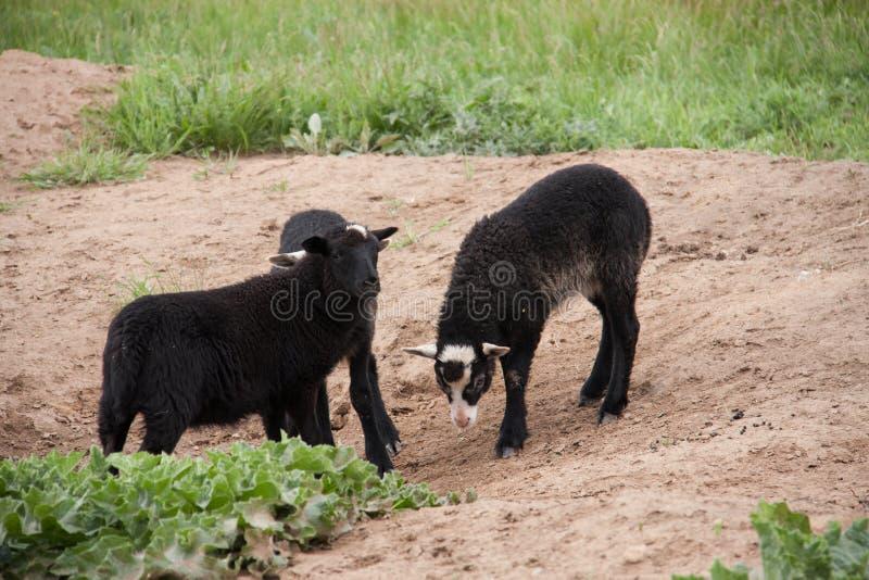 Cordeiro três preto novo que joga no pasto imagens de stock