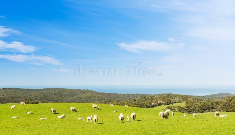 Cordeiros dos carneiros fotos de stock