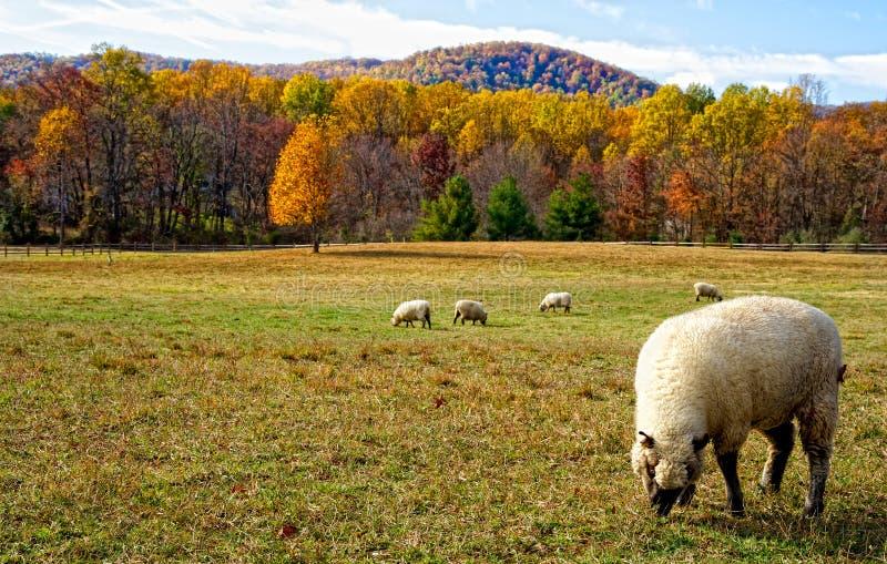 Cordeiros no prado do outono fotografia de stock royalty free