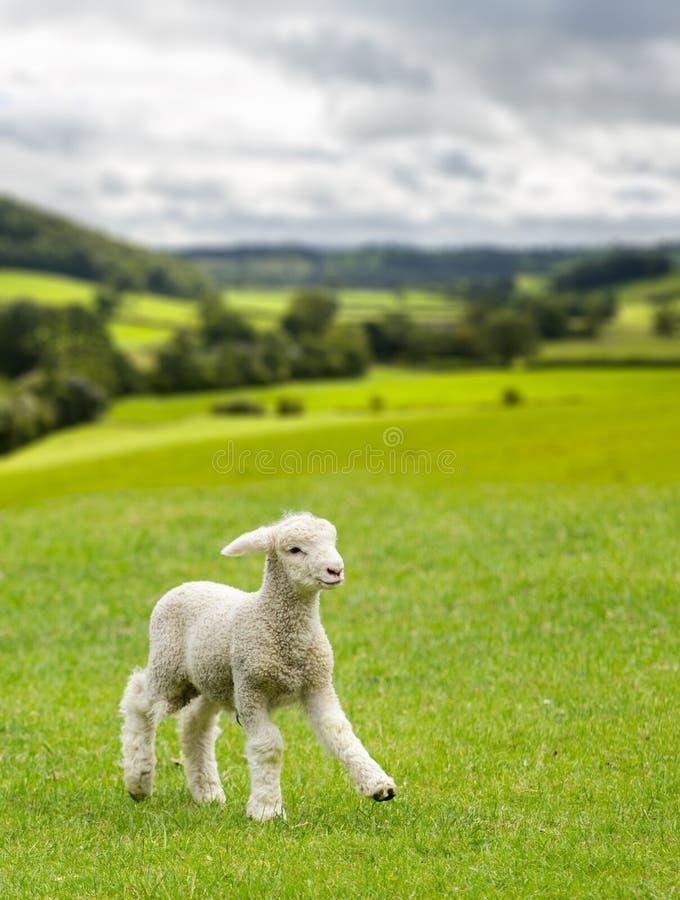 Cordero lindo en prado en los valles de País de Gales o de Yorkshire imagen de archivo libre de regalías
