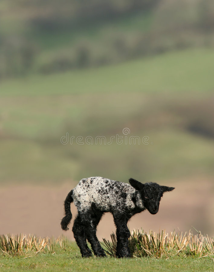Cordero negro recién nacido foto de archivo