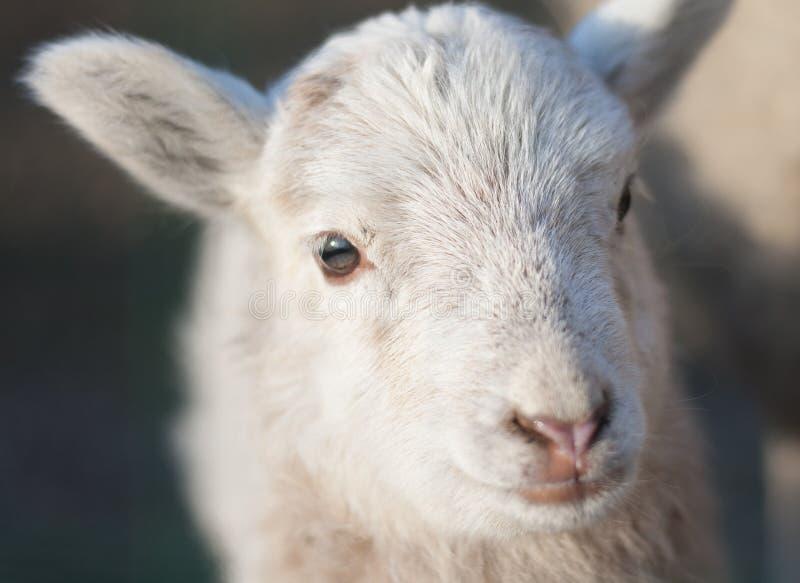 Cordero - oveja joven al aire libre imagen de archivo