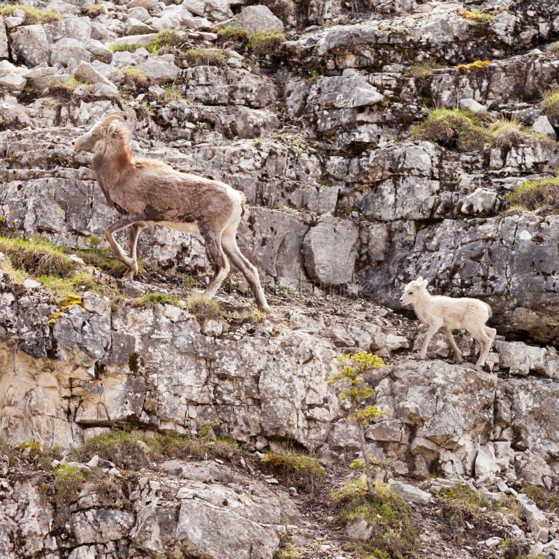 Cordero principal de Thinhorn de las ovejas del Ovis del stonei femenino del dalli foto de archivo