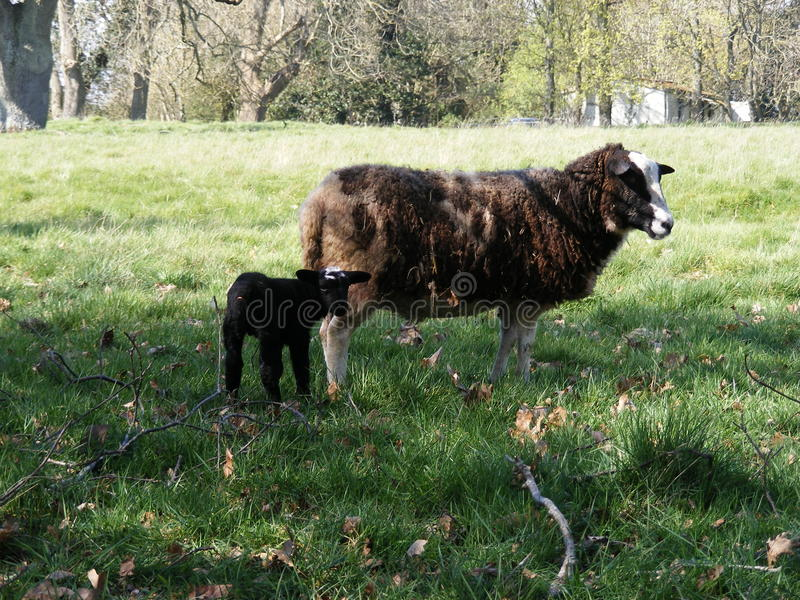 Cordero y ovejas negros en un campo imágenes de archivo libres de regalías