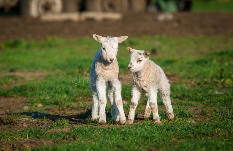 Corderos de Dalesbred, corderos gemelos en un campo durante primavera imagenes de archivo