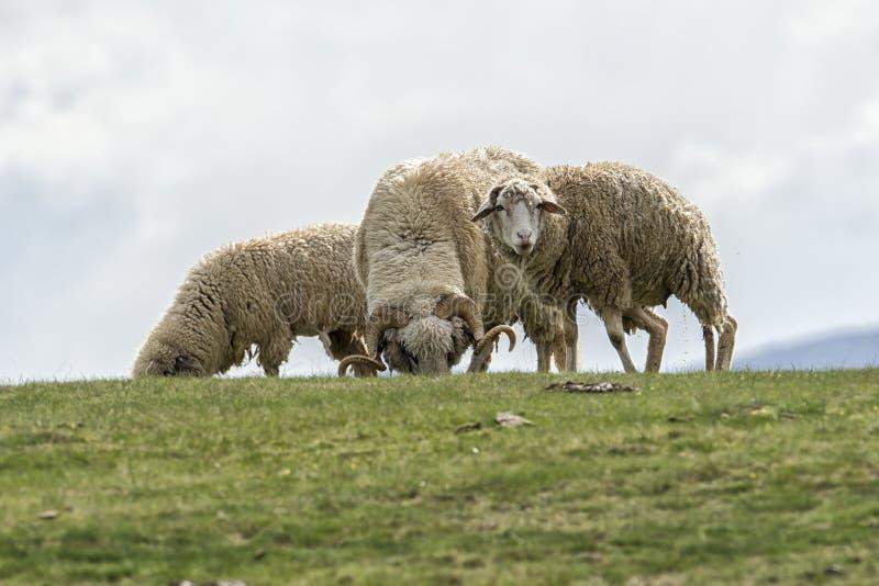 Corderos y ovejas en un campo verde imagenes de archivo