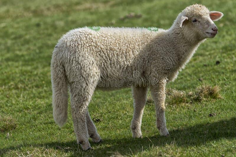 Corderos y ovejas en un campo verde en un prado foto de archivo