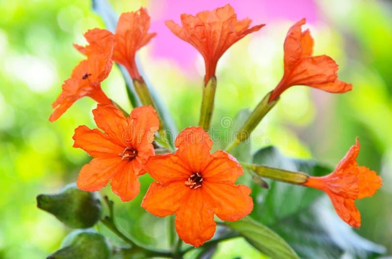 Cordia sebestena ,Geiger Tree. Closeup of beautiful Orange Flower ( Cordia sebestena ,Geiger Tree ) in wild nature stock photo