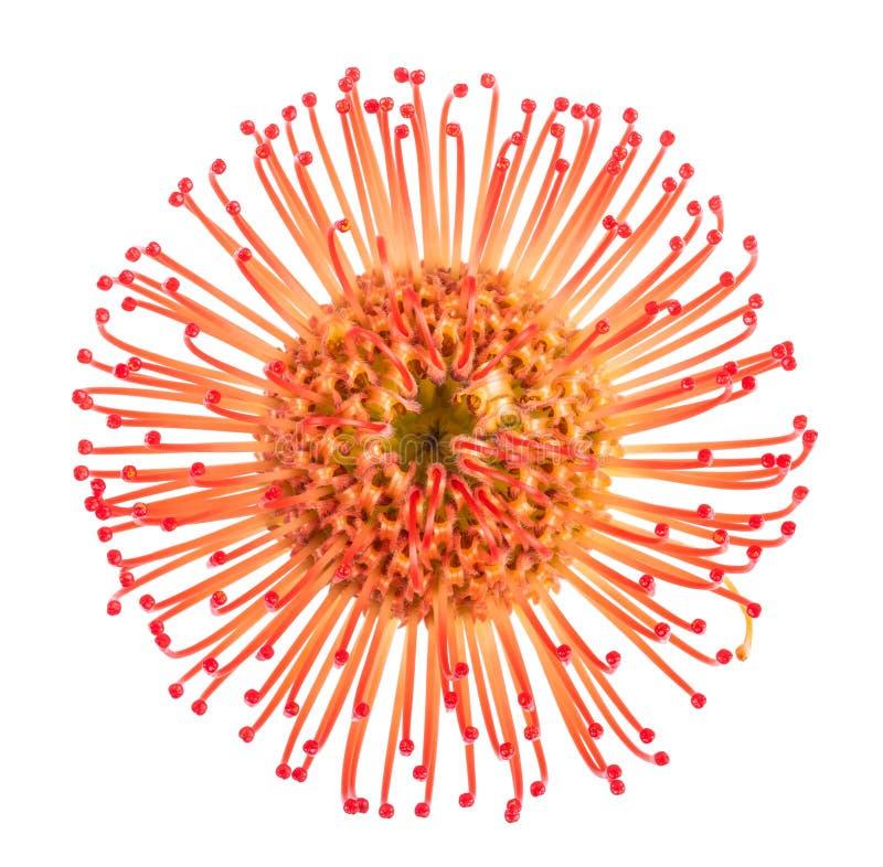 Cordifolium de Leucospermum foto de archivo