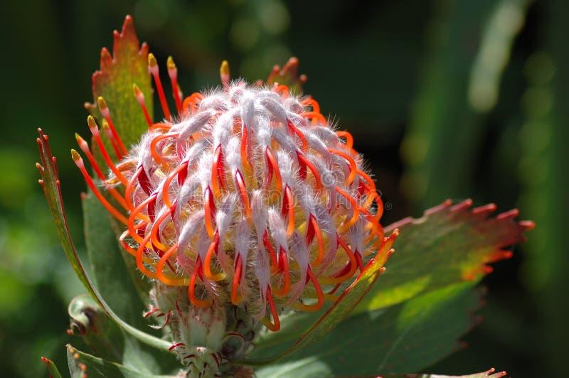 cordifolium leucospermum 免版税库存照片