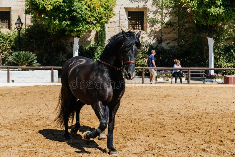 Beautiful black andalusian horse in Historic Royal Stables of Co royalty free stock image