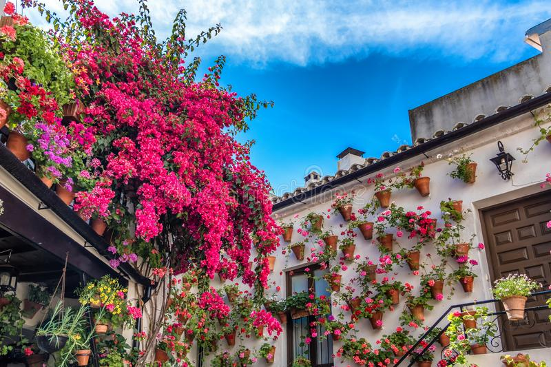Cordoba, Spain, 08.05.2017 Geraniums and bougainvillea inside one of the patio-participants at the traditional patio festival. The Patios festival is held in stock photo