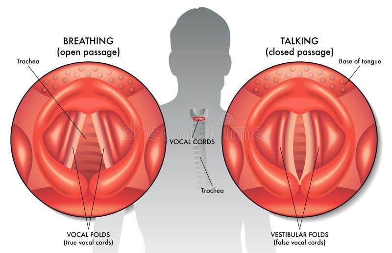 Cordones vocales ilustración del vector
