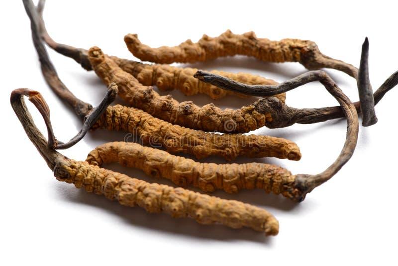 Cordycep sinensis Tybetańscy ziele i leki zbierają w himalajach zdjęcia stock