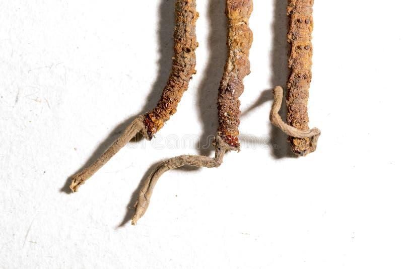 Cordyceps fungosos chinos, medicina popular china Las hierbas y las drogas tibetanas se recogen en el Himalaya fotos de archivo libres de regalías
