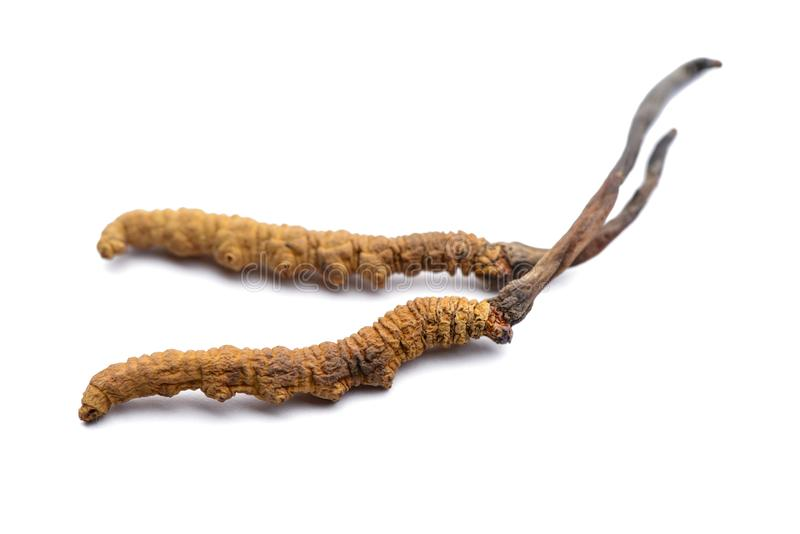 Cordyceps sinesis lub Himalajski złoto pojedynczy białe tło fotografia royalty free