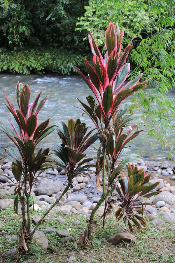 Cordyline fruticosa或钛植物,由于他们的红色或桃红色绿色叶子的惊人的植物 库存图片
