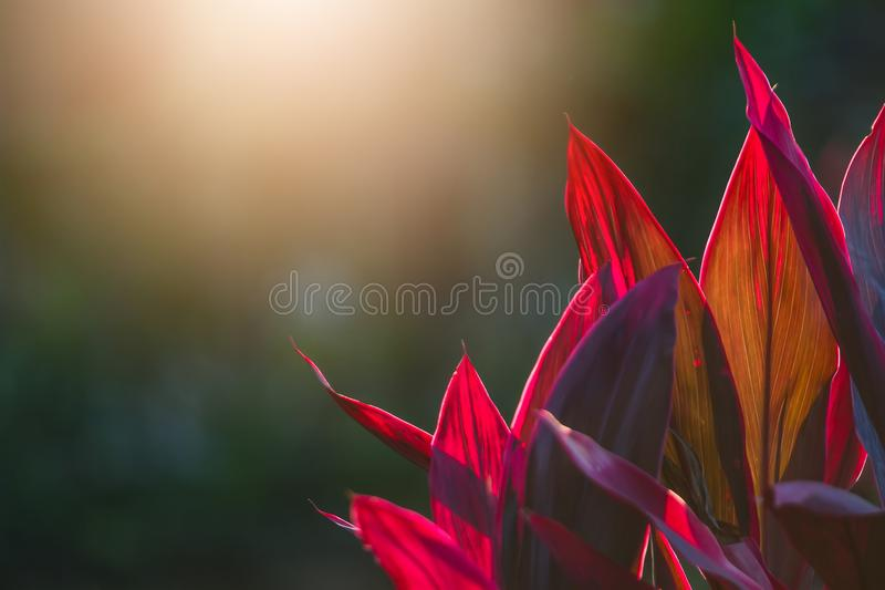 Cordyline fruticosa lucky tree by the light to look beautiful. stock photo