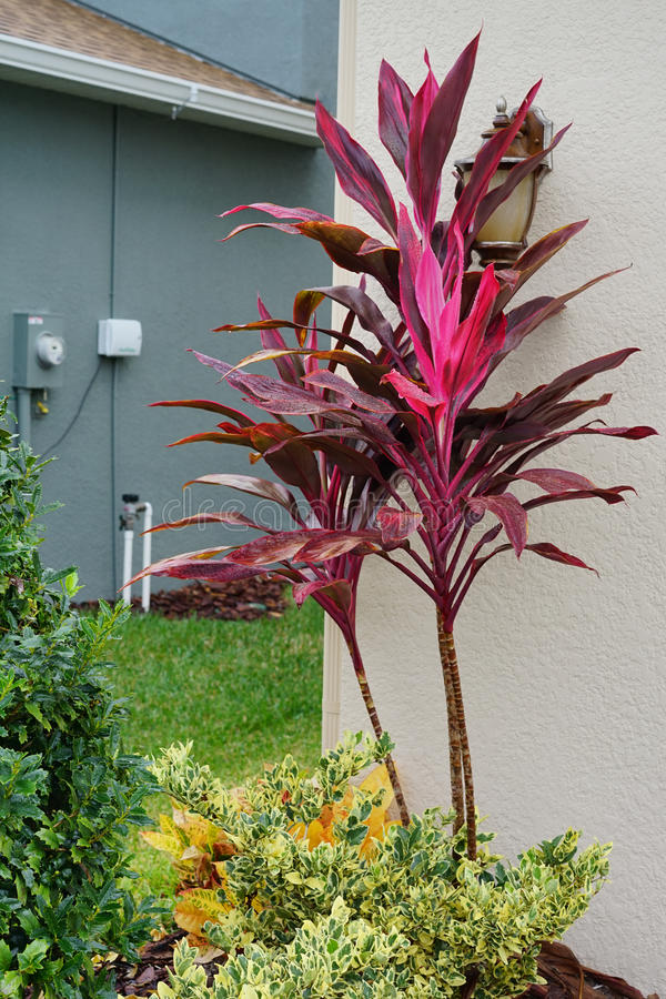 Cordyline Red Sister plant and croton varieties royalty free stock photography