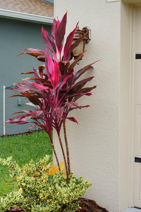 Cordyline Red Sister plant stock images