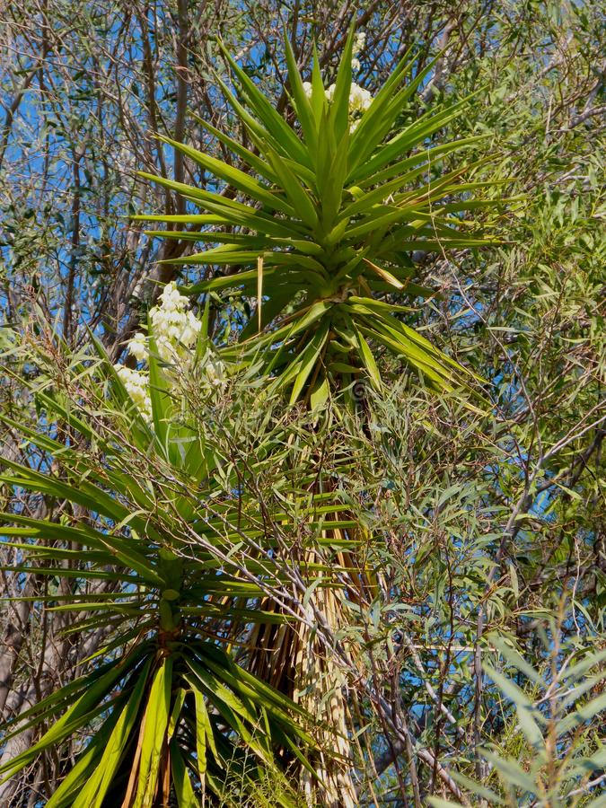 Cordyline Tree stock image