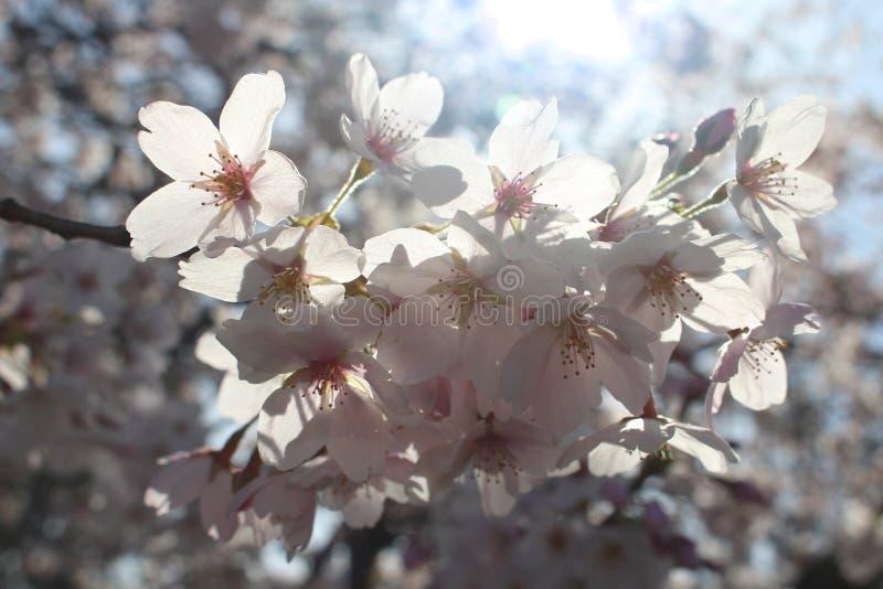 Core primeiramente das flores de cerejeira da mola fotografia de stock