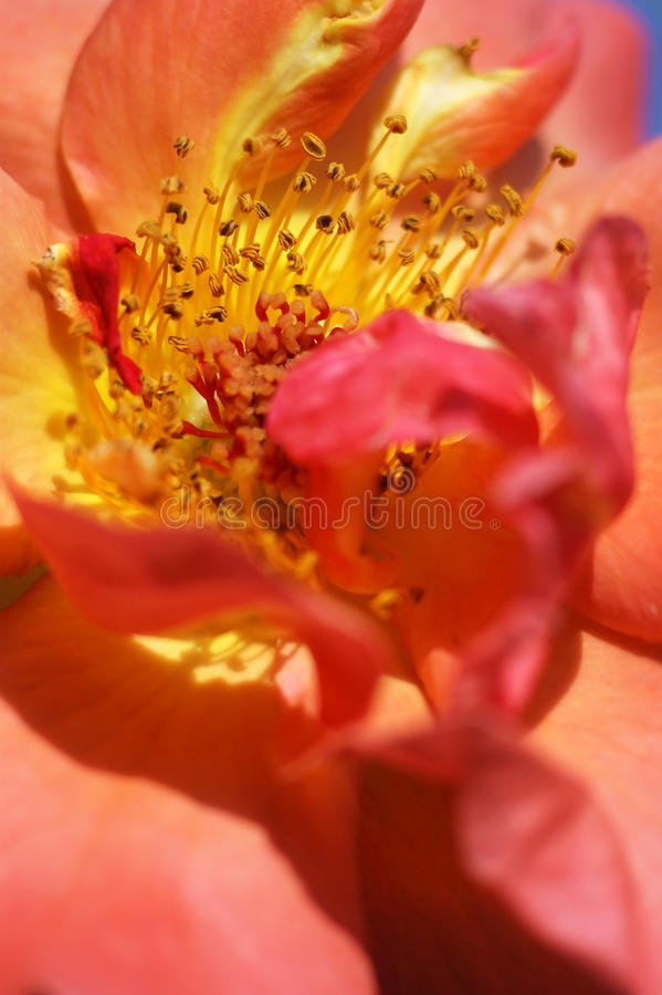 The core of roses. The core of a blossoming flower roses stock photography