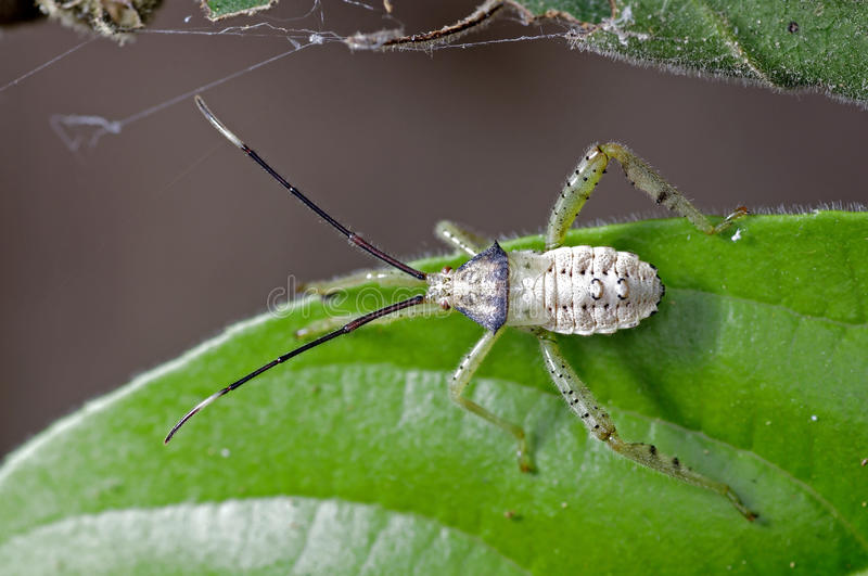 Download Coreid bug stock image. Image of insects, tropical, nature - 28878597