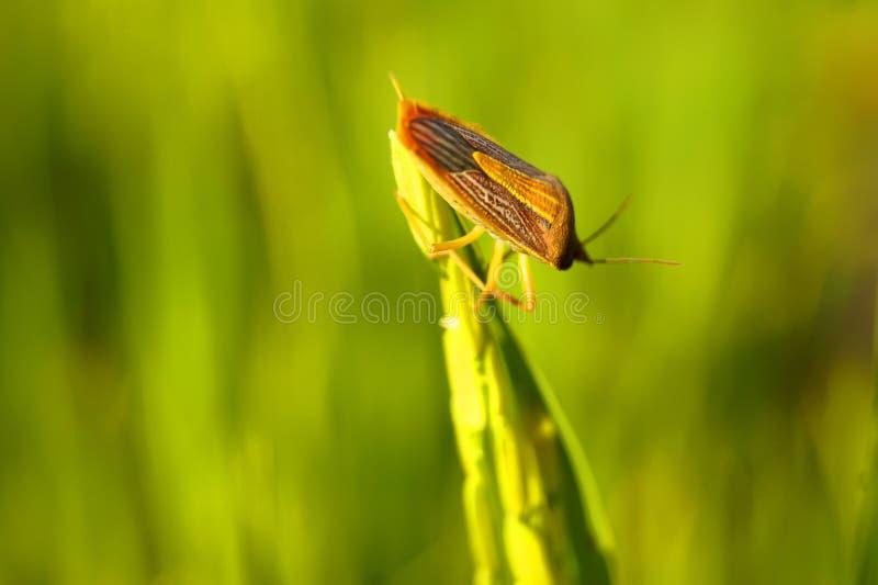 Coreid pluskwa łapał ucho ryż zdjęcie royalty free