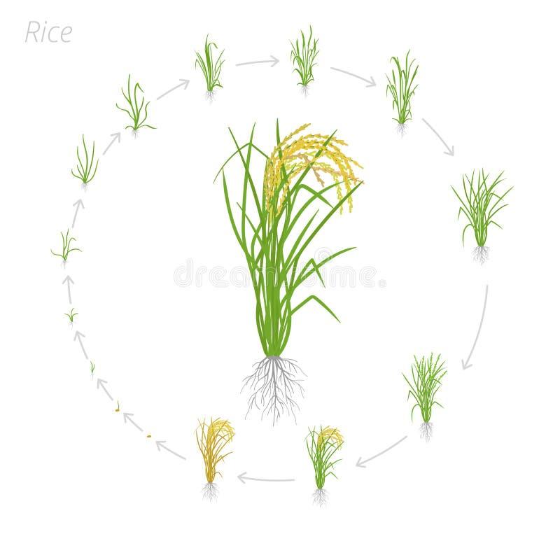 Круговой жизненный цикл риса Этапы роста рисовой посадки Участки роста риса r Oryza sativa Зрея период иллюстрация вектора