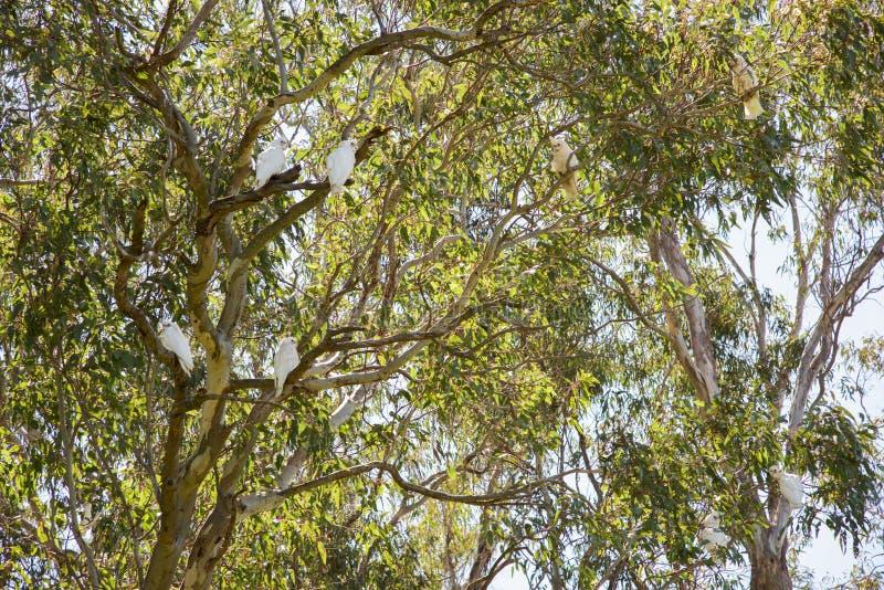 Corella άγρια φύση στο τολμηρό πάρκο στοκ φωτογραφίες