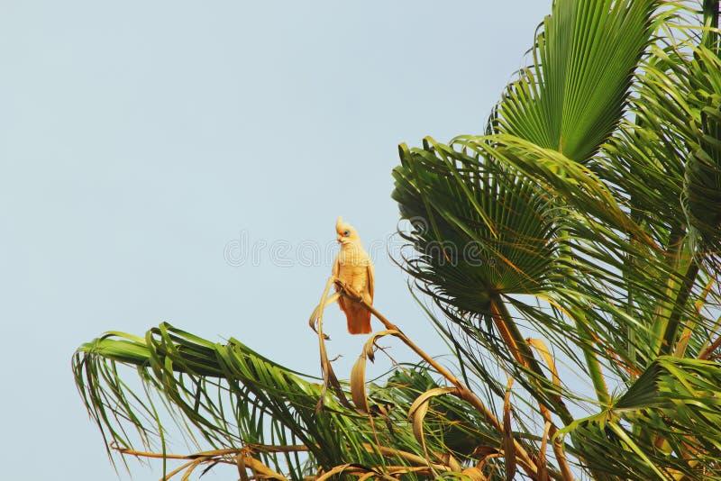 Corella Cockatoo pequena que empoleira-se na palmeira foto de stock royalty free