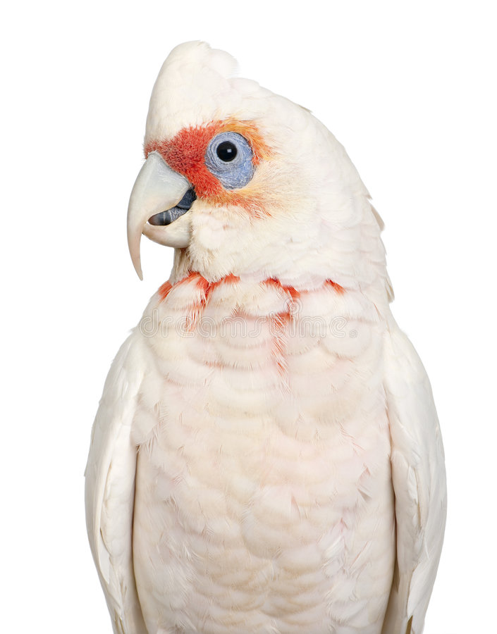 Corella Long-billed - tenuirostris do Cacatua imagens de stock royalty free