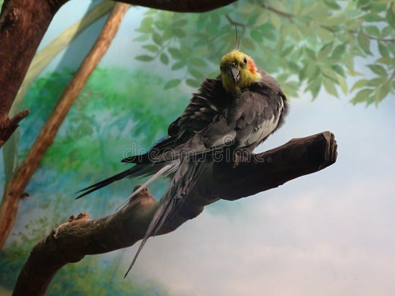 Corella-Papagei im Aquarium in der Stadt von Voronezh stockbilder