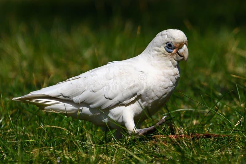Corella Parrot Isolated lizenzfreies stockbild