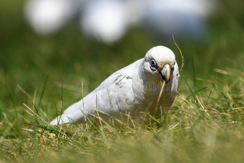 Corella Parrot Isolated lizenzfreie stockfotografie
