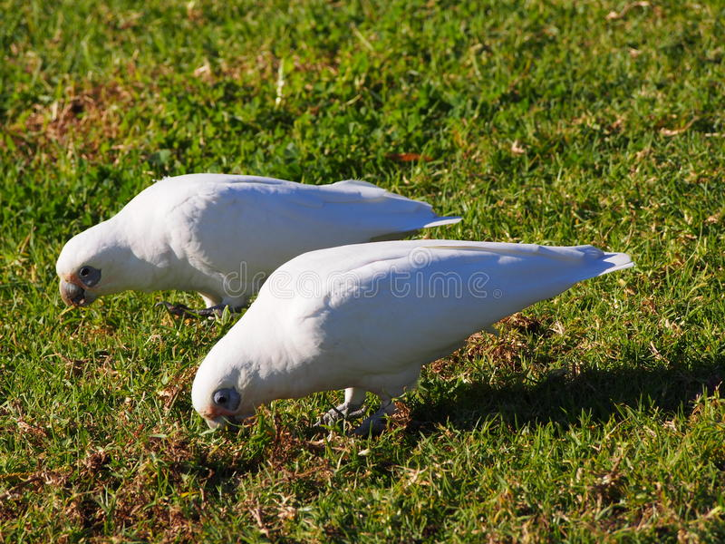 Corellas si alimenta la terra vicino ad Avalon Beach NSW immagine stock