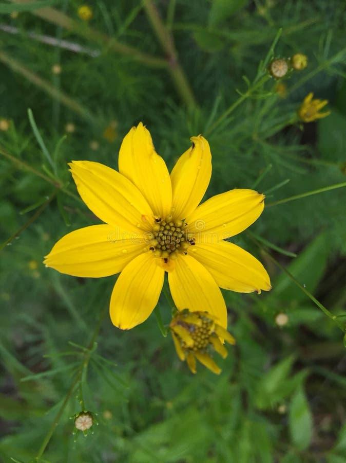 Coreopsis royaltyfria foton