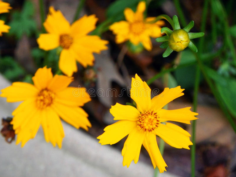 Coreopsis photos stock