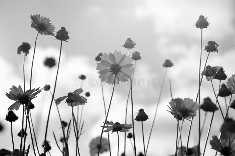 Coreopsis in bianco e nero fotografia stock