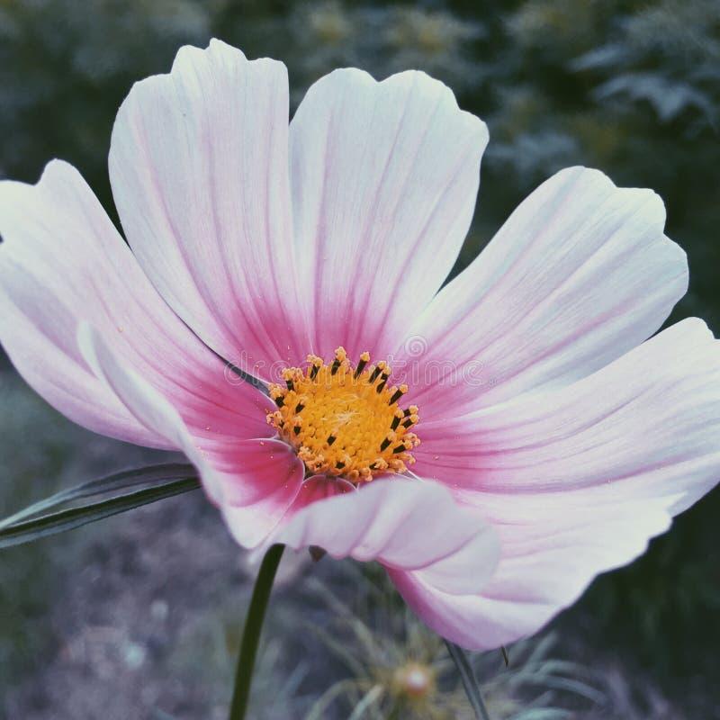 Coreopsis branco fotografia de stock
