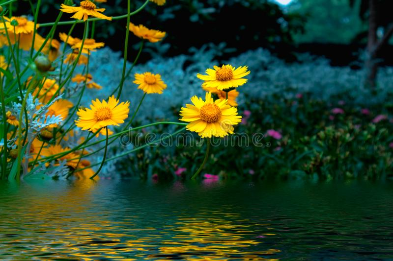 Coreopsis-Coreopsis drummondii Torr. et Gray. It is a perennial perennial herb of Compositae and chrysanthemum. Its leaves are mostly sparse, alternate, entire royalty free stock photo